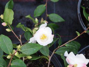 Camellia 'Quintessential'