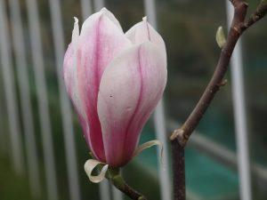 Magnolia soulangeana 'Picture'