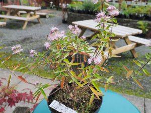 Caryopteris x clandonensis 'Stephi'