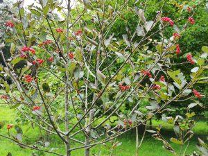 Sorbus pseudobachynensis