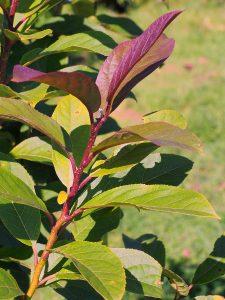 Ehretia thysiflora