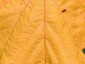 Acer x conspicuum 'Phoenix'