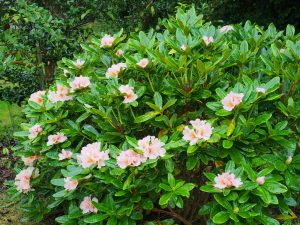 Rhododendron 'Norfolk Candy'