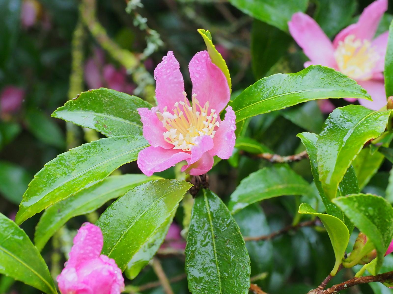 5th october the garden diary for Camellia sasanqua