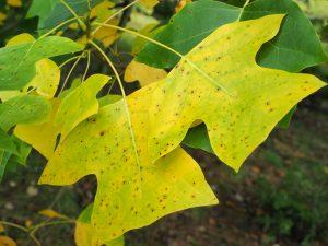 Liriodendron chilense