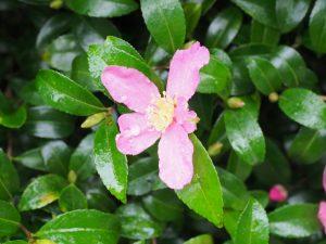 Camellia sasanqua (pink)