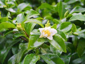 largest white Camellia sasanqua