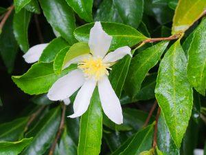 smaller, white Camellia sasanqua