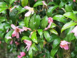 Camellia sasanqua which suddenly flowered 10 days ago
