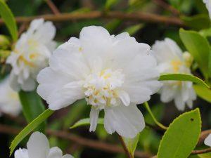 Camellia sasanqua 'Winters Snowman'