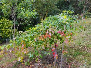 Nyssa sylvatica 'Autumn Cascades'