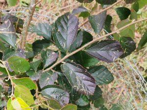 Parrotia subaequalis