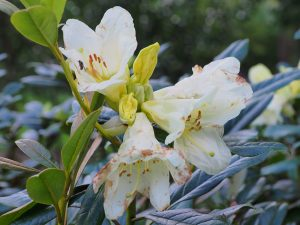 Rhododendron 'Michaels Pride'
