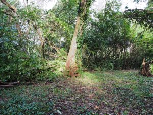 laurel hedge pruning