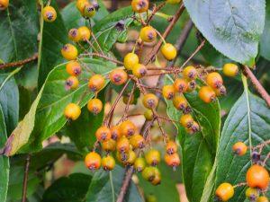 Pourthiaea beauverdiana var. notabilis