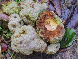 Lithocarpus pachyphyllus