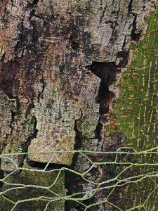 Acer kawakamii