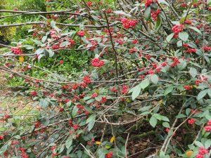 Cotoneaster franchetti