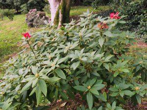 Rhododendron 'Beau Brummell'