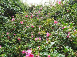 Camellia x williamsii 'November Pink'