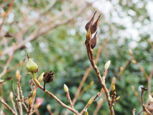 A few ripe and one unripe seed pod