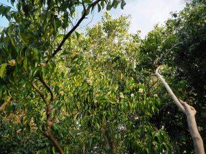 Camellia oleifera