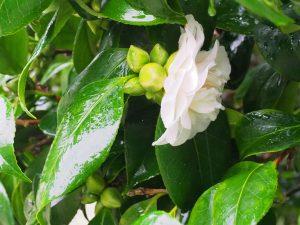 Camellia noblissima