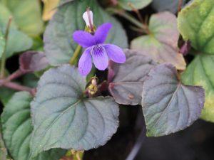 Viola labradorica 'Purpurea'
