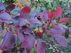 Cotinus coccygra 'Rubnifolia'