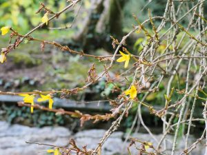Another forsythia