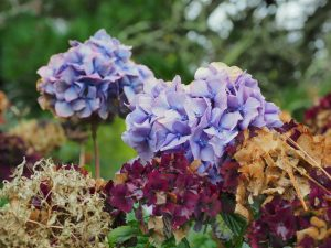 a blue hydrangea can turn and fade into such extraordinary dark colour