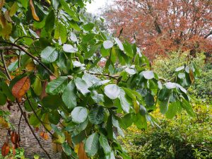 Some magnolias still entirely green and in full leaf