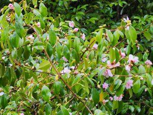 Camellia sasanqua clump