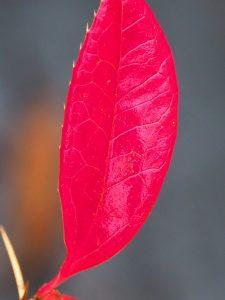 Berberis xanthoclada
