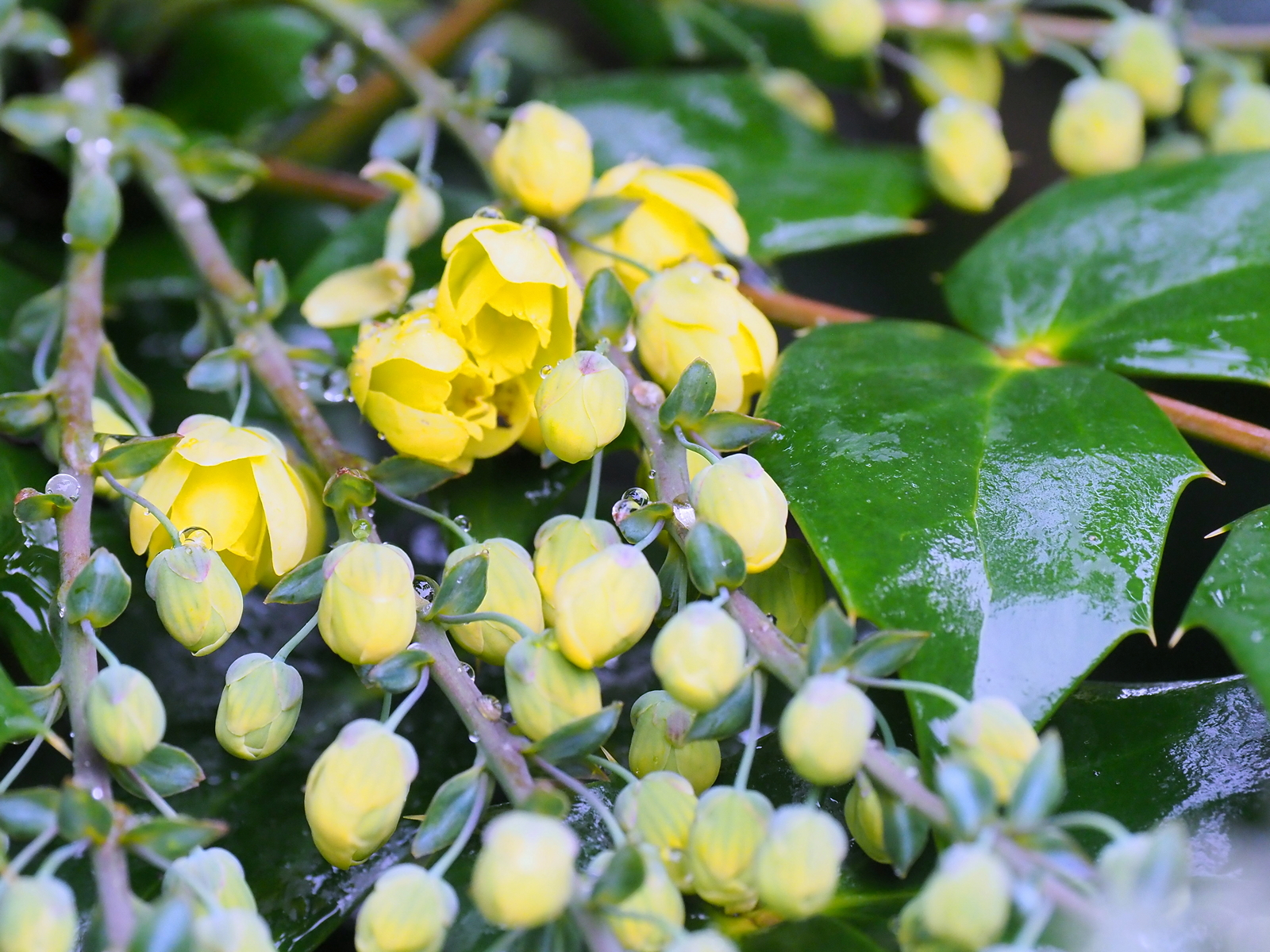 1st december the garden diary for Mahonia japonica