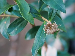 Dasyphyllum diacanthoides