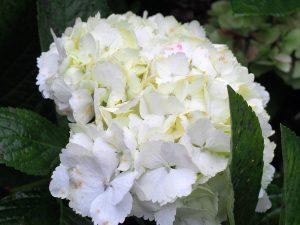 Hydrangea 'Madame Mouilliere'