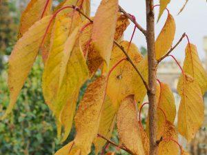 Prunus 'Shizuka'