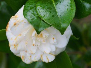Camellia 'Jovey Carlyon'