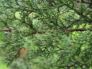 Cupressus tortulosa