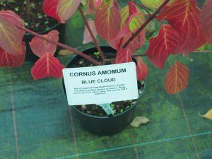 Cornus amomum 'Blue Cloud'