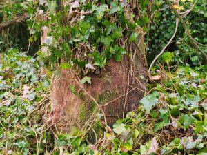 ivy pruning