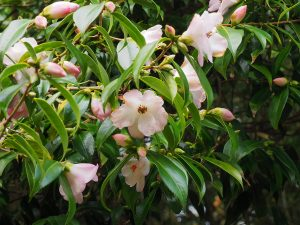 Camellia 'Winton'
