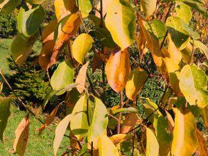 young magnolias