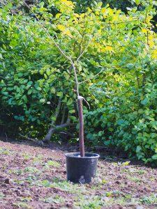 respacing before actual planting