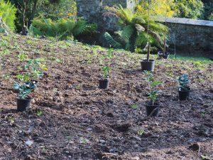 evergreen osmanthus species