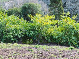 Ilex platyphylla hedge