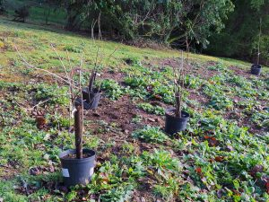 Ribes longiracemosa and Ribes odoratum