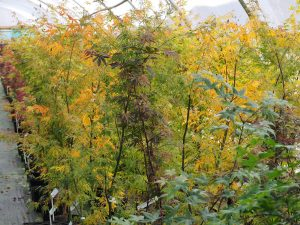 New Zealand acers