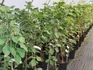 New Zealand magnolia imports